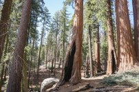 Taken during my light-guided ambling through the Grant Grove.
