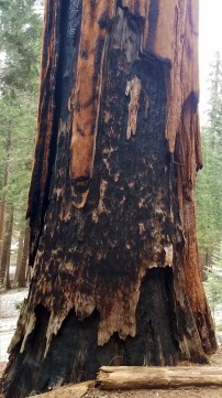 The sequoias are quite impervious to fires. Their bark is saturated with sap.
